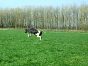 Koeiendans2